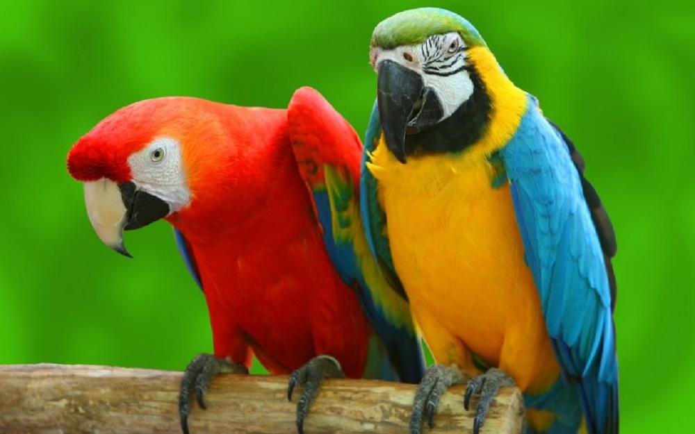 انواع پرندگان زینتی