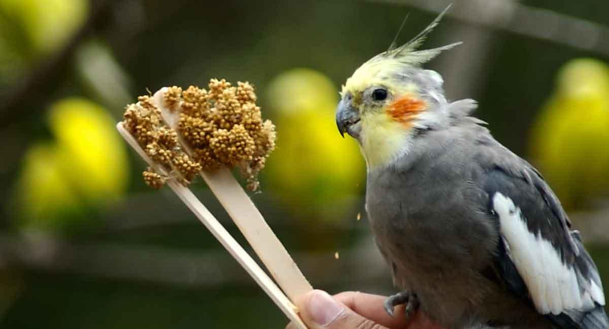 بهترین و مناسب ترین تغذیه برای پرندگان