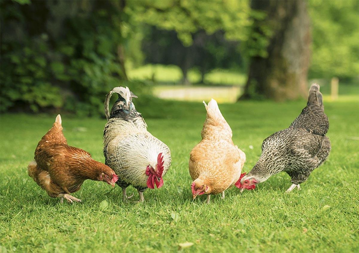 آنچه در مورد پرورش مرغ بومی باید بدانید