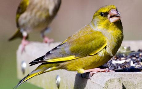 علائم انواع بیماری ها در پرندگان خانگی
