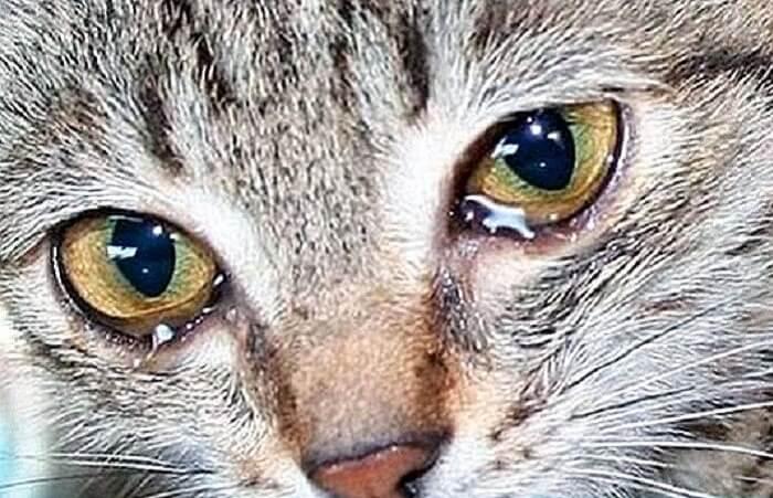 آیا گربهها گریه میکنند؟