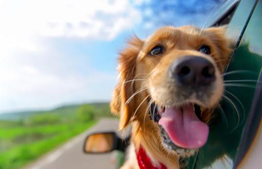 نکات مهم در هنگام سفر کردن با سگ ها